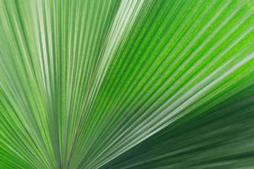 Leaf texture of the fresh tropical plant.