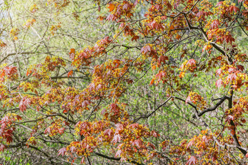 Maple tree branches in the ciry park at spring day time.