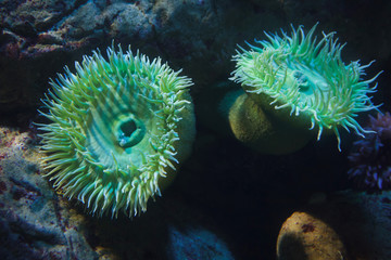 Fototapete - Giant green anemones (Anthopleura xanthogrammica).