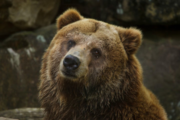 Wall Mural - Mainland grizzly (Ursus arctos horribilis).