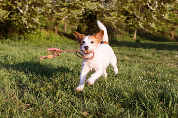 FUNNY DOG RUNNING AND HOLDING  A COLORFUL LEASH WITH ITS MOUTH AT PARK WALK.