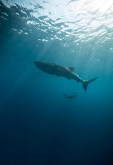 whale swimming beside diver