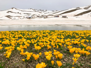 amazing spring crocus flowers and therapeutic landscape