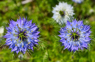 Two Blue Bachelor Buttoms with White Bachelor Button in Background