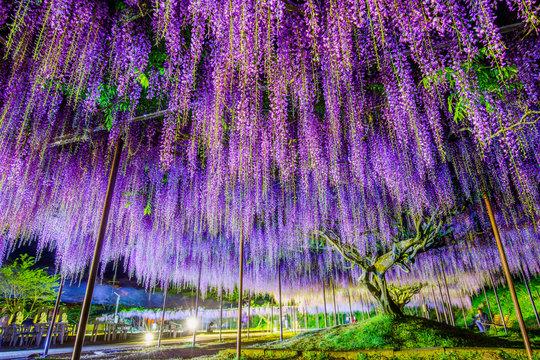 藤の花・ライトアップ