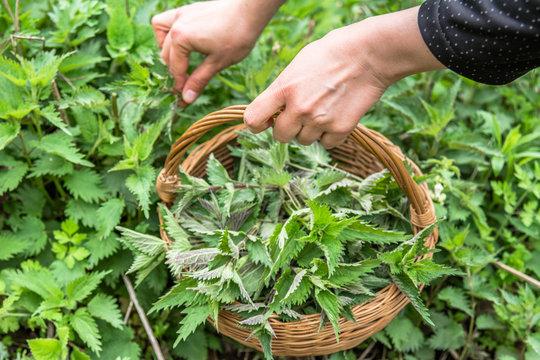 Farmer harvesting nettles. Fresh green herbs harvest. Nettle leaves in the basket. Medicinal plant.