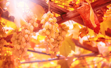 Fototapete - Green grapes on the vine, white wine variety in the vineyard, autumn natural background, selective focus