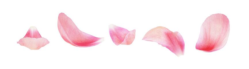 Set of pink peony petals