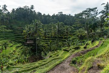 TEGALALANG RICE TERRACE BALI INDONESIA
