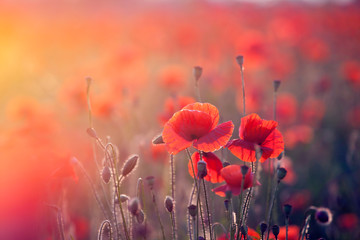 Photo sur Aluminium Poppy Poppy field