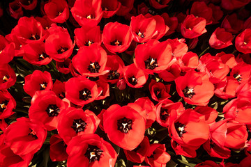 red tulips. beautiful red tulips Wall mural