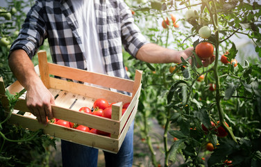 Fototapeta Worker harvests tomatoes in the greenhouse obraz