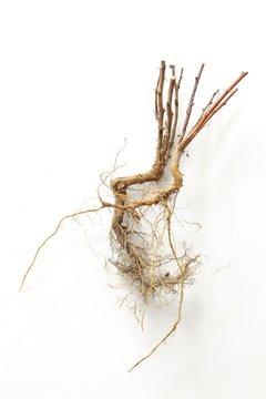 Berberis root
