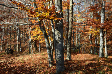Garden Poster Birch Grove autumn landscape on the mountains of Genoa in Liguria in Italy