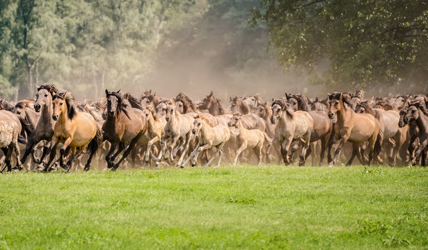 Herd of Duelmen ponies with foals running at a gallop, a native horse breed lives wild in Merfelder Bruch, Münsterland, North Rhine-Westphalia, Germany