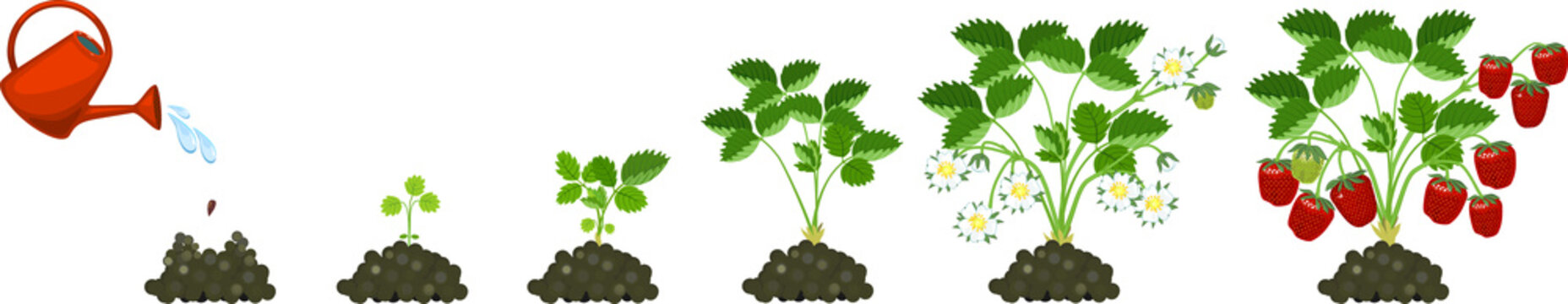 Life cycle of strawberry isolated on white background. Plant growth stage from seed to strawberry plant with ripe berries