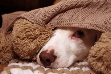 SICK OR SCARED DOG COVERED WITH A WARM  TASSEL BLANKET