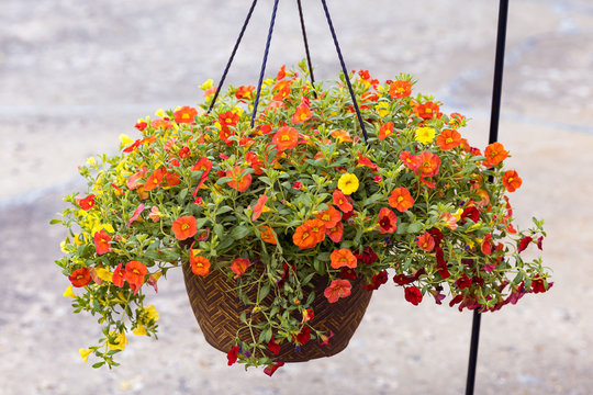 hanging basket full of red yellow and orange Million Bells