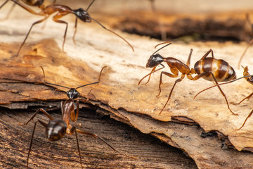 Large Camponotus carpenter ants foraging on dead wood on the rainforest floor Wall mural