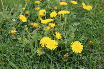 Close up of yellow dandelion flowers field