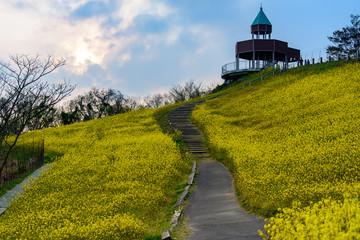 写真素材:菜の花、翠波高原、四国中央、黄色、自然