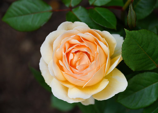 Beautiful english yellow rose in summer garden. Nature background. Shallow depth of field.