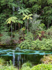 crystal clear waters of Hamurana Springs, Rotorua, New Zealand, surrounded by native forest