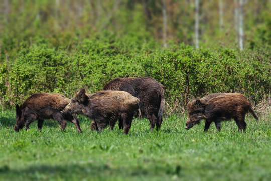 Wild boar family on the green glade