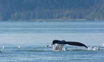 With tail upraised a humback whale dives back into the depths through a flock of floating seagulls
