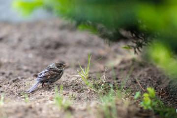 Fototapeta Młody wróbel na ziemi przy drzewku obraz
