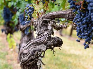 Viñedo en Septiembre en la zona vitícola de La Rioja, España Fototapete
