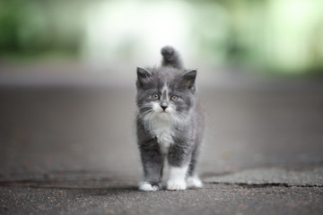 grey and white fluffy kitten posing on the road outdoors