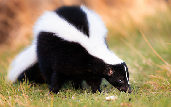 Striped Skunk eating grass, warm morning colors. Stinky skunk, beautiful.