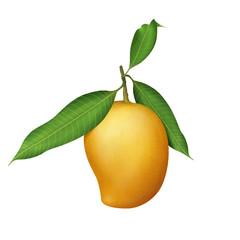 Fresh ripe mangos on the branch illustration
