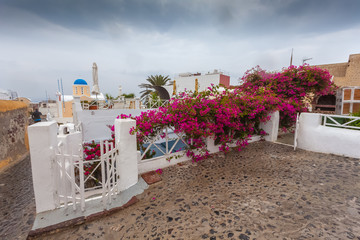 Beautiful bougainvillea in bloom with Oia houses background