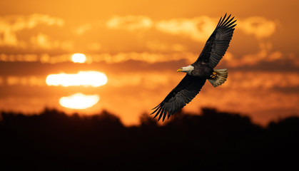 Poster Eagle Bald Eagle at Sunrise Composite