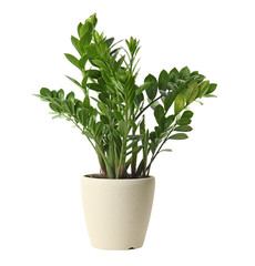Door stickers Plant Pot with Zamioculcas home plant on white background