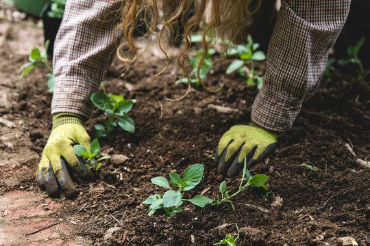 Gardener plants herbs in garden soil