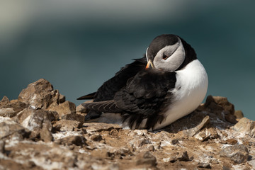 Wall Mural - Puffin perched on the edge of cliff with its head burrowed into its feathers.