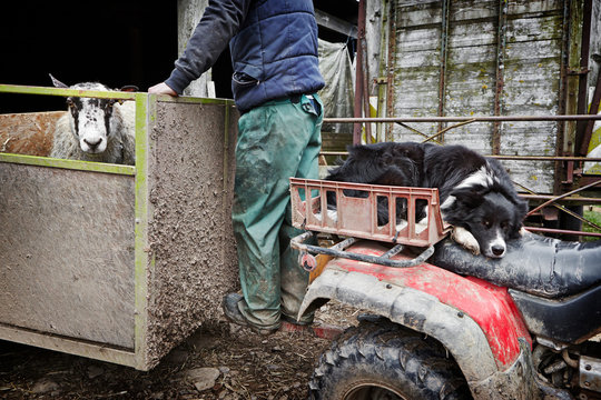 A sheep farmer checks over his livestock