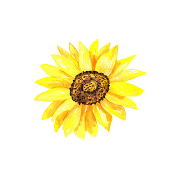 Bright sunflower. Hand drawn watercolor illustration. Isolated on white background.