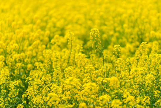 Yellow Canola Sea
