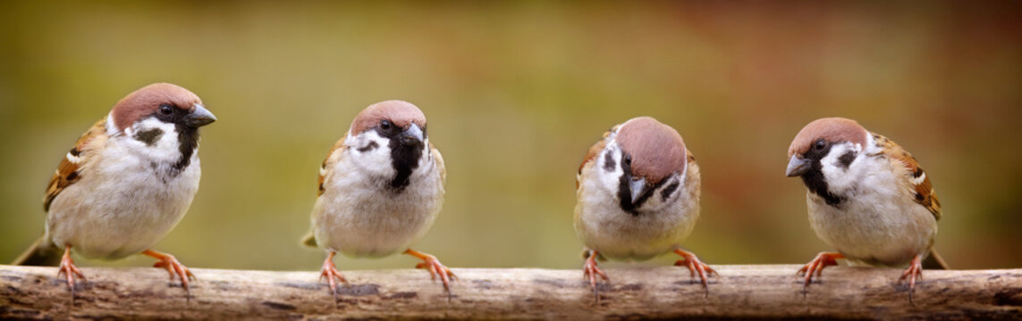 Four sparrows on a stick