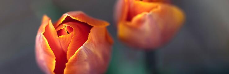 Photo sur Plexiglas Tulip Orange tulip flowers - nature banner or panorama - close up, focus on left tulip, fading to background.