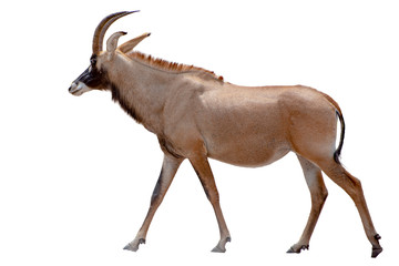 Roan antelope on white background
