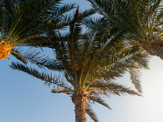 Beautiful image of growing palm trees shot from the ground.aganst blue sky and sunset light rays