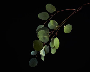 One branch of eucalyptus green leaves isolated on a black background