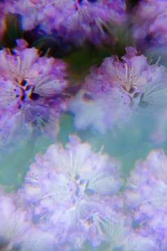 Rhododendron flowers photographed through prism