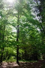 Słońce w koronie drzewa pokrytego zielonymi liśćmi w wiosennym lesie