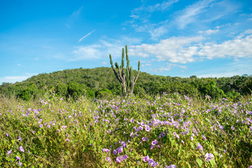 Flowers, cactus and mountain in the background - typical Sertao landscape, a semiarid region in the Caatinga biome (Oeiras, Brazil)